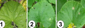 Mineral nutrition and bacterial fruit blotch disease of Cucurbits