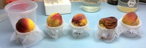 The role of fruit fly bacteria in pest fitness and in biocontrol