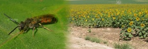 External effects of open landscapes on crop pollination by wild bees
